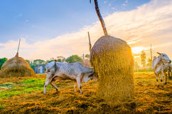 Koe in de stal Stock Fotografie