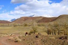 Koe in de steppen van Altai Stock Fotografie