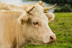 Koe in de Weide Stock Foto's