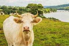 Koe in de Weide Stock Afbeeldingen