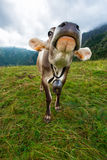 Koe in de Weide Royalty-vrije Stock Foto
