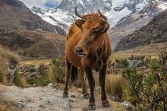 Koe in de Weide royalty-vrije stock afbeeldingen