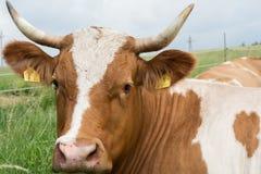 Koe in de Weide Stock Afbeelding