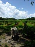 Koe in de wijngaard Royalty-vrije Stock Afbeelding