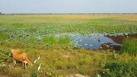 Koe dichtbij een meer in Sri Lanka stock foto