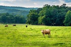 Koe die bij fotograaf in de voorsteden van Georgië staren stock afbeeldingen