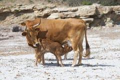 Koe die een kalf voeden Stock Afbeeldingen