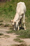 Koe die gras eet Royalty-vrije Stock Foto's