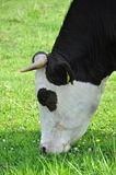 Koe die gras eet Royalty-vrije Stock Afbeeldingen