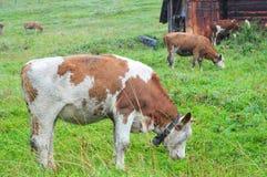 Koe die gras eten Stock Afbeeldingen