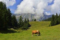Koe die gras met bergen en hemel op achtergrond eten Royalty-vrije Stock Fotografie