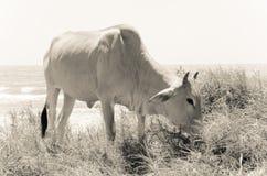 Koe die gras op de zandige kust eten stock fotografie