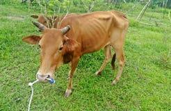 Koe die groen gras op tuin eten Stock Afbeelding