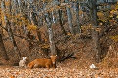 Koe die in het de herfstbos liggen Royalty-vrije Stock Afbeelding