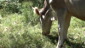 Koe die het gras weiden stock footage