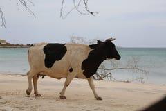 Koe die in het strand loopt Stock Foto's