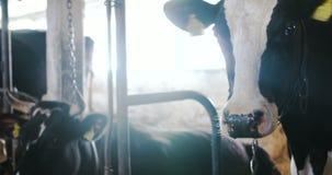 Koe die hooi in de landbouw van de landbouwbedrijfschuur eten Melkkoeien in landbouwlandbouwbedrijfschuur stock videobeelden