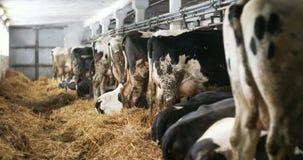 Koe die hooi in de landbouw van de landbouwbedrijfschuur eten Melkkoeien in landbouw stabiele landbouwbedrijfschuur, stock footage