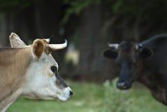 Koe die koe bekijkt Royalty-vrije Stock Fotografie