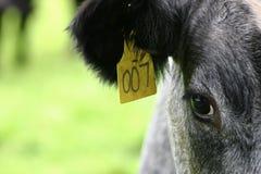 Koe die met 007 wordt geëtiketteerdd Royalty-vrije Stock Afbeeldingen