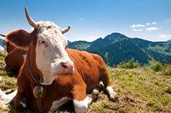 Koe die op bergalp rust Stock Afbeeldingen