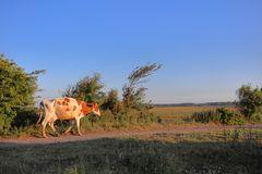 Koe die op de weg lopen royalty-vrije stock fotografie