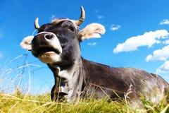 Koe die op gras liggen Stock Fotografie