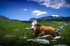 Koe die op groen gras rust stock afbeelding