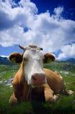 Koe die op groen gras rust royalty-vrije stock afbeeldingen