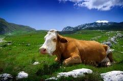 Koe die op groen gras rust royalty-vrije stock fotografie