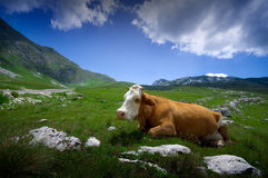 Koe die op groen gras rust royalty-vrije stock foto's