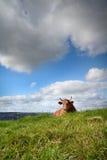 Koe die op het gras ligt Royalty-vrije Stock Foto
