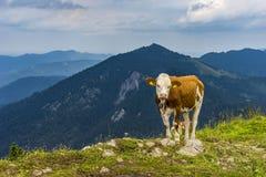 Koe die op het weiland van de bergvallei in Oostenrijkse Alpen liggen Royalty-vrije Stock Afbeelding