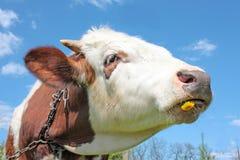 Koe die paardebloem eet Stock Foto