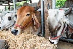 Koe die rijststro in de koeiestal eten Royalty-vrije Stock Afbeelding
