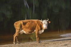 Koe die zich in de rivier bevinden Royalty-vrije Stock Fotografie