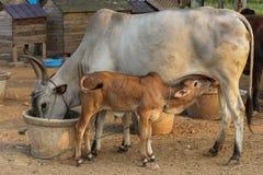 Koe die zijn kalf terwijl zijn het eten zijn eigen voedsel voeden eet goed om uw baby te voeden stock afbeeldingen