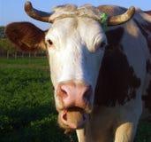 Koe die zijn tong uit plakken Royalty-vrije Stock Fotografie