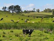 Koe in een Australisch landschap stock foto's