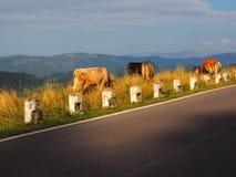 Koe in een hoog bergweiland Royalty-vrije Stock Fotografie