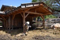 Koe in een landbouwbedrijf in bergen van southtyrolitalië Het landelijke Leven Stock Foto