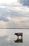 Koe in een meer Stock Fotografie