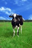 Koe in een weide Stock Afbeelding