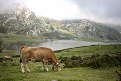 Koe in een weide die gras eten royalty-vrije stock afbeelding