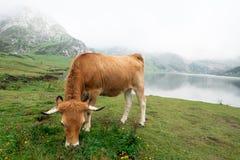 Koe in een weide die gras eten stock afbeeldingen