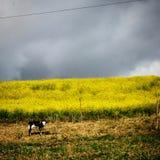 Koe en bloemen Stock Afbeeldingen