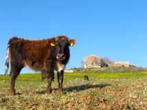 Koe en boerderij Royalty-vrije Stock Fotografie