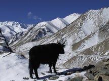 Koe en Himalayan-bergen in Ladakh Stock Afbeeldingen