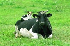 Koe en hond - frienship tussen soorten Royalty-vrije Stock Afbeeldingen