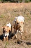 Koe en Kalf Stock Foto
